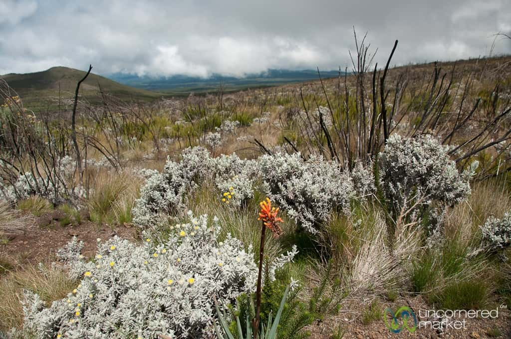 Climbing Kilimanjaro, Marangu Route Wildflowers